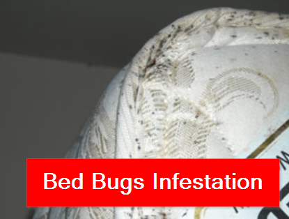 Bed Bugs Edmonton Picture